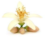 Lemon flower Stock Photo