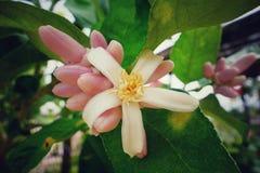 Lemon flower. Pink lemon flowers bloom in the morning Royalty Free Stock Image