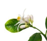 Lemon flower on the white (Citrus limon) Royalty Free Stock Images