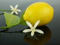 Lemon flowers and lemon fruit Stock Photo