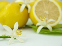 Lemon flowers and lemon fruits Royalty Free Stock Photo