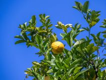 A fly sunning itself on a lemon  in a tree. A lemon with a fly sunning itself on it hangs in a tree with green leaves  against a crisp blue sky royalty free stock photos