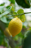 Lemon fruit Royalty Free Stock Image