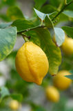 Lemon fruit on stock images