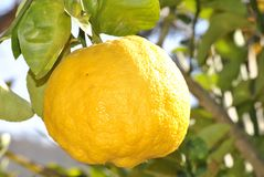 Lemon Fruit on Branch during Day Time Stock Images