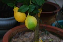 Lemon fruit Stock Image