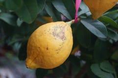 Lemon fruit Stock Photos