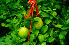 Lemon fruit hung on the branch Stock Photography