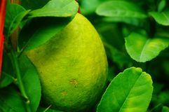 Lemon fruit hung on the branch Royalty Free Stock Photos