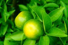 Lemon fruit hung on the branch Royalty Free Stock Photo