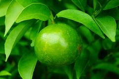 Lemon fruit hung on the branch Royalty Free Stock Photography