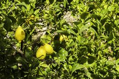Lemon fruit on the tree, background. Organic farming.  stock images