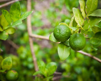 Lemon fruit on tree Stock Photography