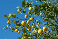 Lemon fruits. Lemon fruit on tree with blu sky Stock Photo