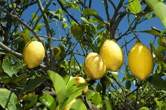 Lemon fruits on branch Royalty Free Stock Photography