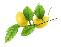 Lemon fruits on a green branch Stock Photos