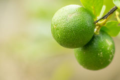 Lemon fruits. Stock Photography