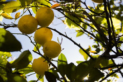 Lemon fruits in orchard Royalty Free Stock Images