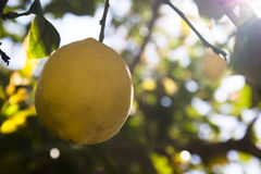 Lemon fruits in orchard Royalty Free Stock Image