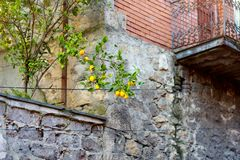 Lemon fruits ripening along picturesque medieval streets of Kutaisi town, capital of the western region of Imereti, Georgia. Chilly sunny day in late autumn stock images