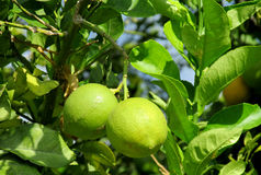 Lemon fruits on the tree Royalty Free Stock Images