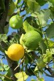 Lemon fruits on the tree Royalty Free Stock Photo