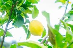 Lemon garden with fruits Royalty Free Stock Image