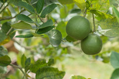 Lemon in the garden. Grow, and be ready to sales Royalty Free Stock Photo