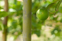 Lemon in the garden. Grow, and be ready to sales Royalty Free Stock Image