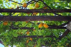 Lemon garden pergola Royalty Free Stock Images