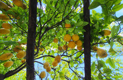 Lemon garden pergola Stock Image