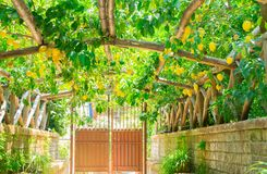 Lemon garden of Sorrento. Fruits arch in Lemon garden of Sorrento at summer stock photos