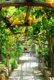 Lemon garden of Sorrento. Fruits gallery in Lemon garden of Sorrento at summer stock photography