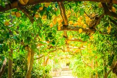 Lemon garden of Sorrento. Fruits in Lemon garden of Sorrento at summer, retro toned royalty free stock image