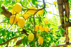 Lemon garden of Sorrento. Hanging fresh Lemon Fruits in Lemon garden of Sorrento at summer royalty free stock images