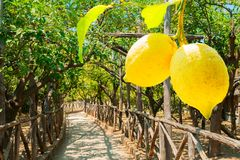 Lemon garden of Sorrento. Hanging Lemon Fruits in Lemon garden of Sorrento at summer day stock photography