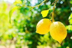 Lemon garden of Sorrento. Hanging two Lemon Fruits in Lemon garden of Sorrento at summer, copy space on defocused foliage stock image