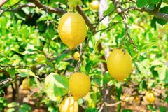 Lemon garden of Sorrento. Hanging yellow Lemon Fruits in Lemon garden of Sorrento at summer stock photos