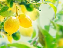 Lemon garden of Sorrento. Nging Lemon Fruits in Lemon garden of Sorrento with summer blue sky royalty free stock photos