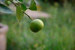 Lemon in graden Royalty Free Stock Images