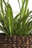 Lemon grass. Detail of a lemon grass in a wicker basket stock photos
