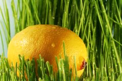 Lemon in grass Royalty Free Stock Photo