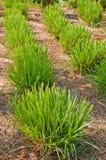 Lemon grass. Royalty Free Stock Photo
