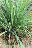 green Lemon grass in the garden Stock Image