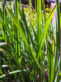 Lemon grass, Citronnelle plant Stock Photography