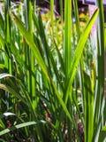 Lemon grass, Citronnelle plant Stock Photography