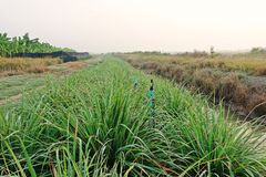 Lemon grass field cultivation, Thailand royalty free stock photos