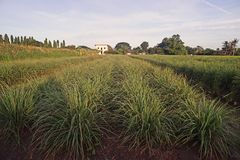 Lemon grass field cultivation, Thailand royalty free stock photography