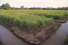 Lemon grass field cultivation, Thailand royalty free stock photo
