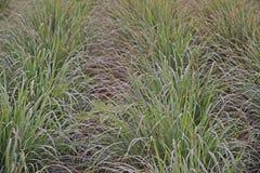 Lemon grass field cultivation, Thailand stock images
